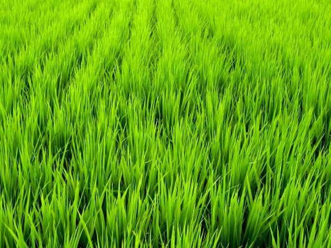 Wysiew trawy - odmiany i rodzaje