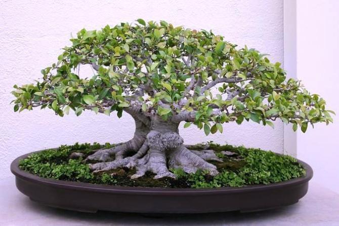 Ficus Retusa Uprawa I Pielegnacja