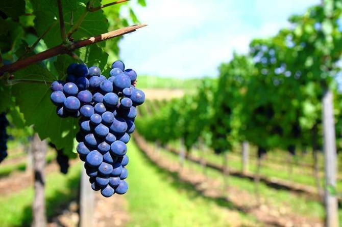 Pielęgnacja winogron
