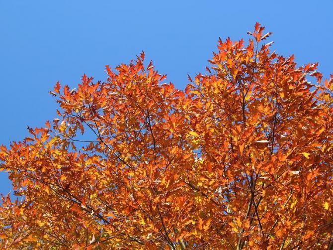 Dąb czerwony  Quercus rubra