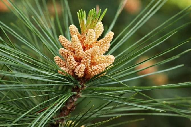 Sosna wejmutka (Wejmutka, Sosna amerykańska)  Pinus strobus