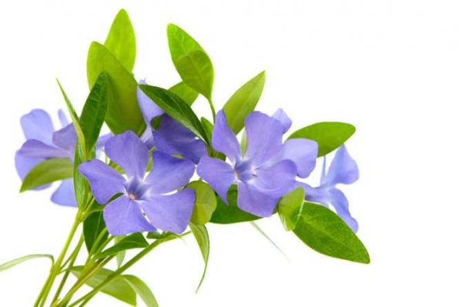 Barwinek - zimozielone rośliny okrywowe