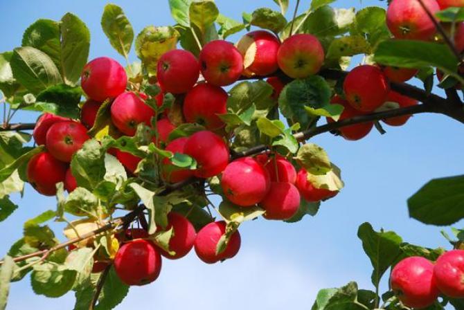 Kiedy opryskiwać drzewa owocowe?