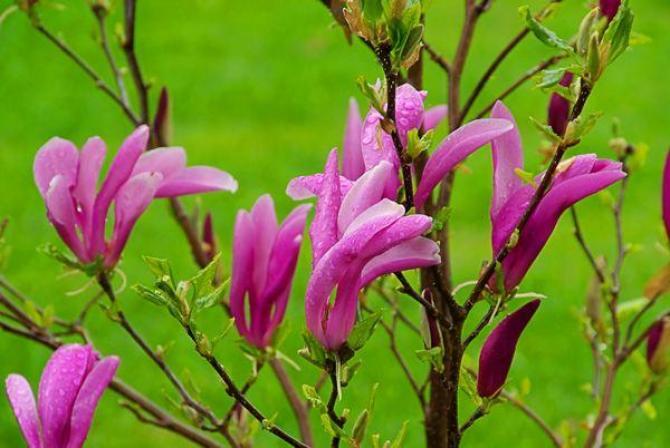 Magnolia -Betty