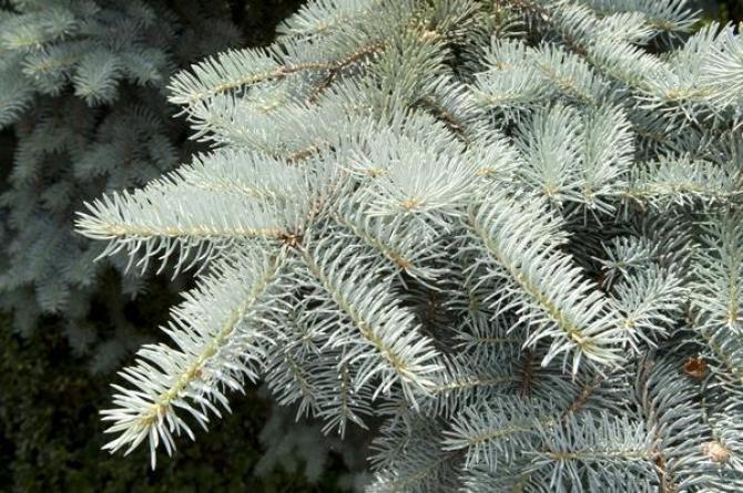 Świerk kłujący (Świerk srebrny) - Picea pungens