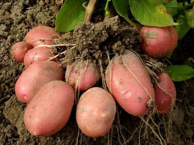 Ziemniaki - podstawowe zasady uprawy ziemniaków