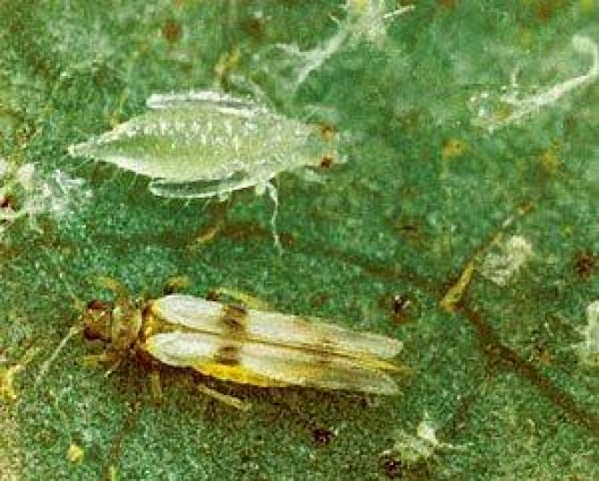 Wciornastki  Thysanoptera