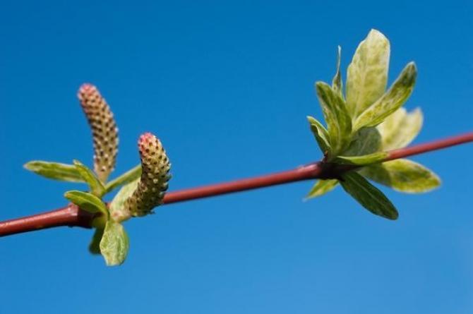 Wierzba japońska (wierzba całolistna, wierzba zwarta)   Salix integra