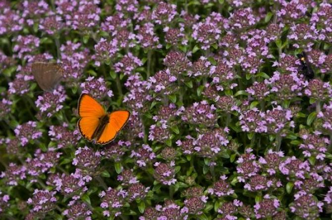Macierzanka - Thymus