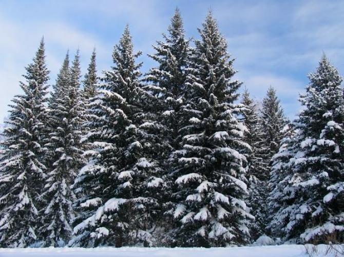 Świerk serbski - Picea omorica