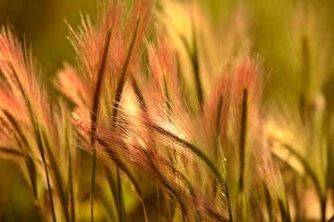 Trawy jednoroczne- wybrane gatunki i odmiany
