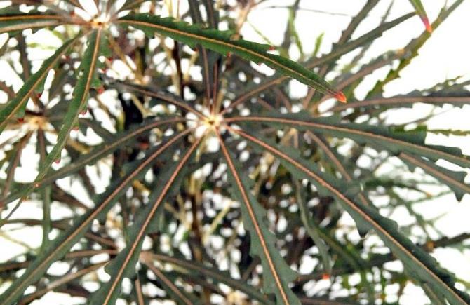 Dizygoteka wytworna (najwytworniejsza)  Dizygotheca elegantissima