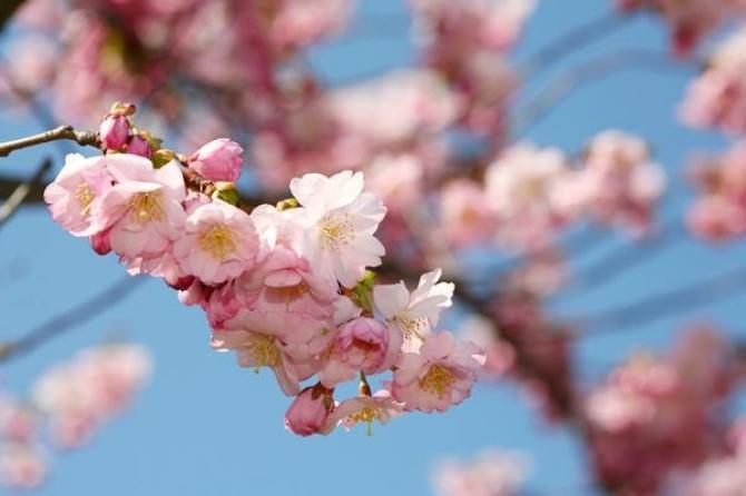 Wiśnia piłkowana  Prunus  serrulata