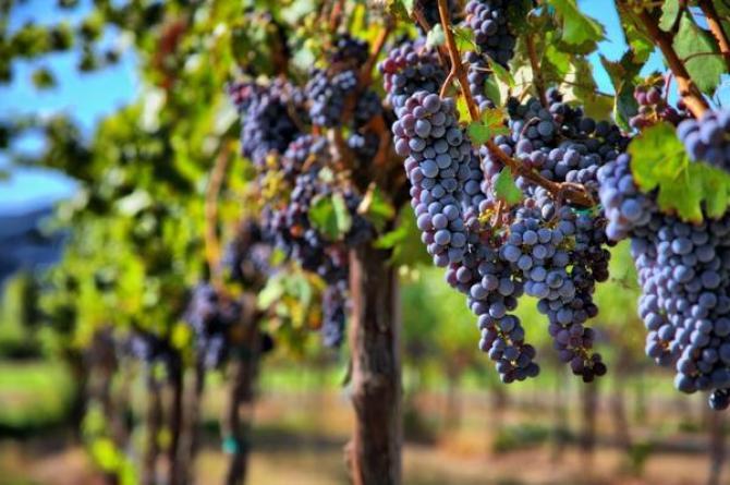 Choroby winorośli  rozpoznawanie, zwalczanie i profilaktyka