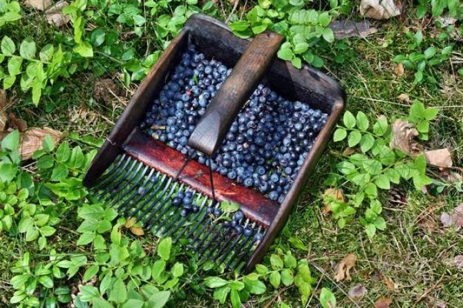 Czarna jagoda  Borówka czarna