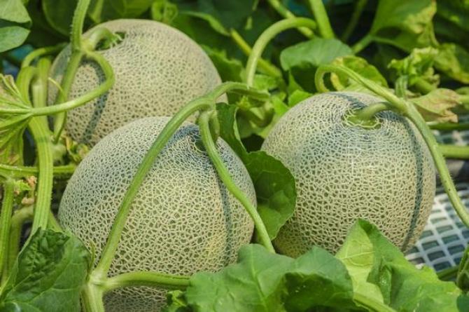 Melon - uprawa, kalorie i właściwości