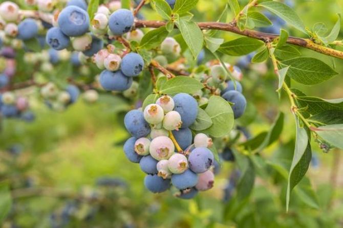 Borówka amerykańska  odmiany, sadzonki, rozmnażanie, sadzenie