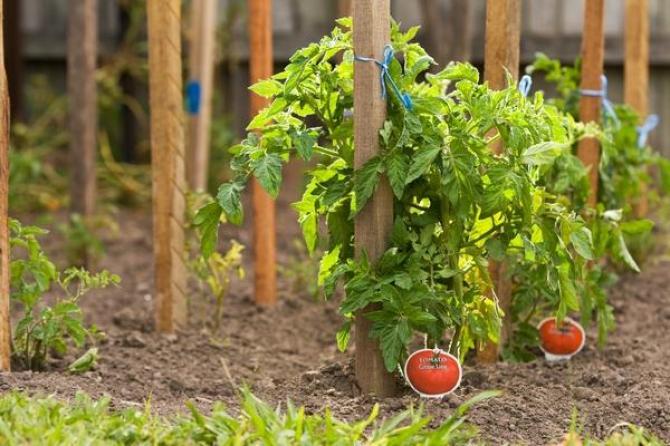 Paliki do pomidorów - podpieranie pomidorów