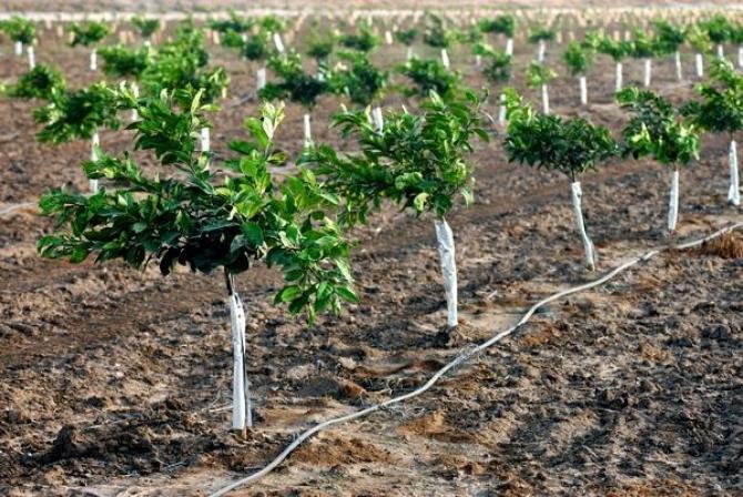 Sadzonki owocowe  rozmnażanie drzew owocowych