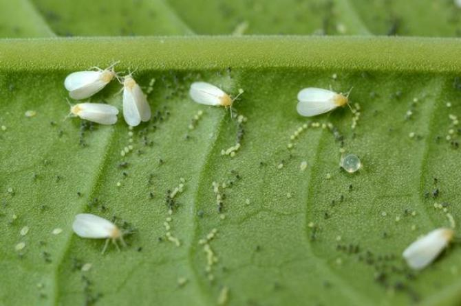 Białe muszki - mączliki