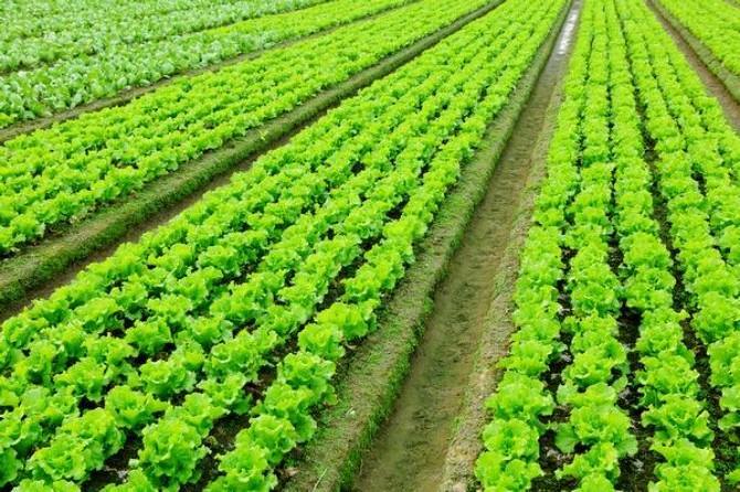 Sałata  uprawa, odmiany i właściwości