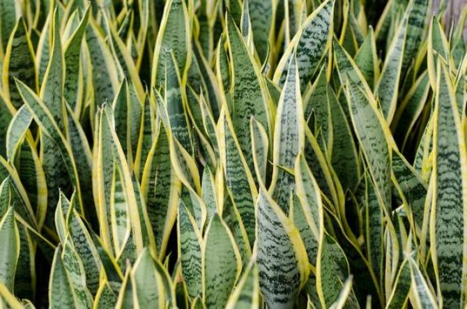 Sansewieria  uprawa, pielęgnacja i odmiany