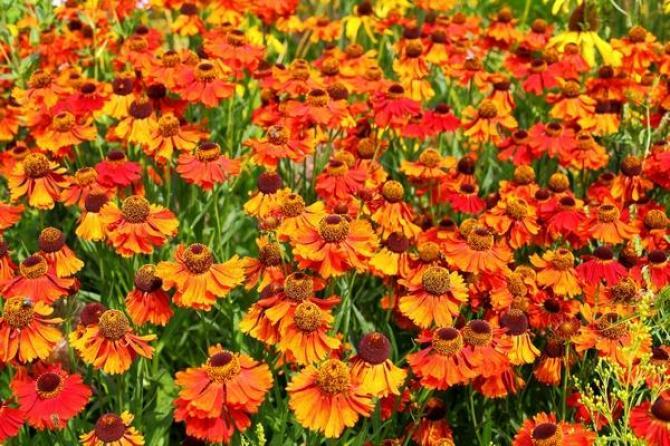 Dzielżan ogrodowy - uprawa, pielęgnacja i najciekawsze odmiany