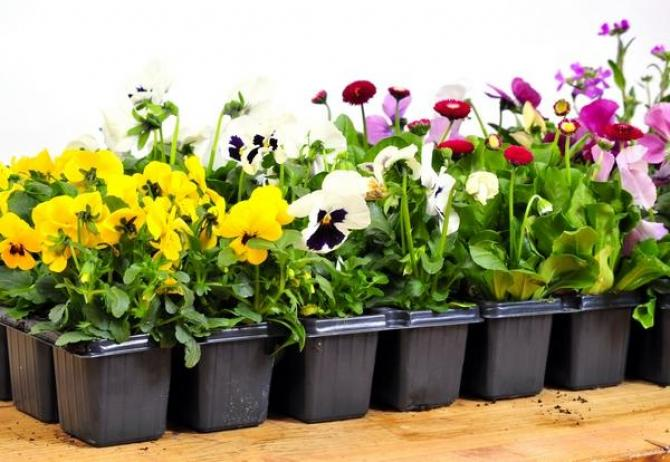 Sadzonki kwiatów  jak przygotować?