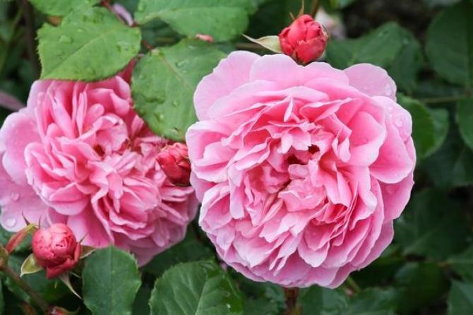 Róże angielskie  najciekawsze odmiany
