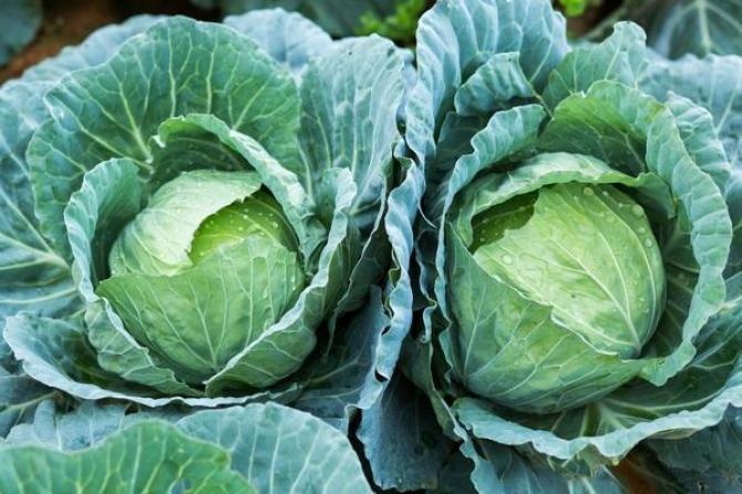 Kapusta biała  uprawa, odmiany i właściwości