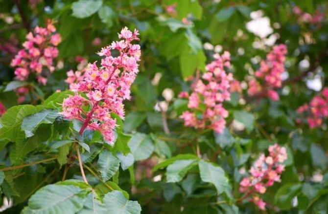 Kasztanowiec czerwony  opis uprawy, pielęgnacji i sadzonki