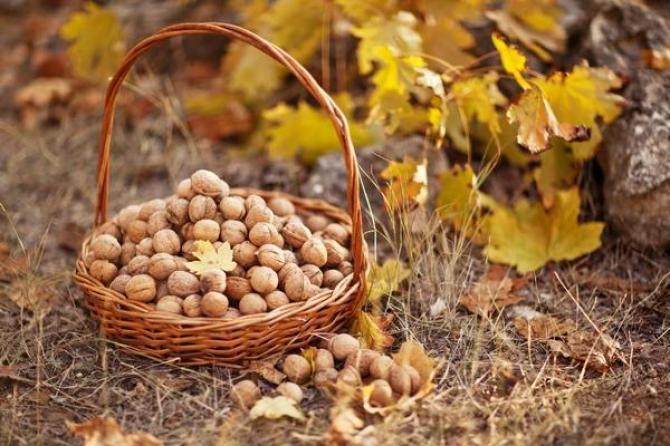 Orzech włoski - odmiany, sadzenie i sadzonki
