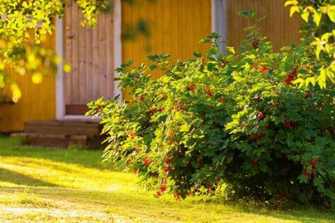 Porzeczki  uprawa, pielęgnacja i ciekawe odmiany
