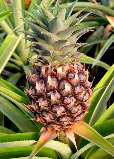 Ananas, Ananas jadalny, Ananas właściwy- Ananas comosus