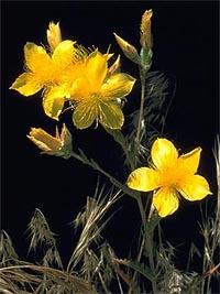 Bartonia - Bartonia aurea