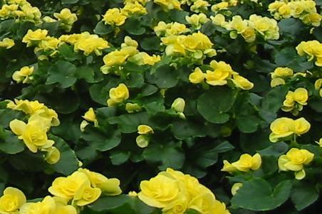 Begonia zimowa ( wyniosła ) - Begonia elatior
