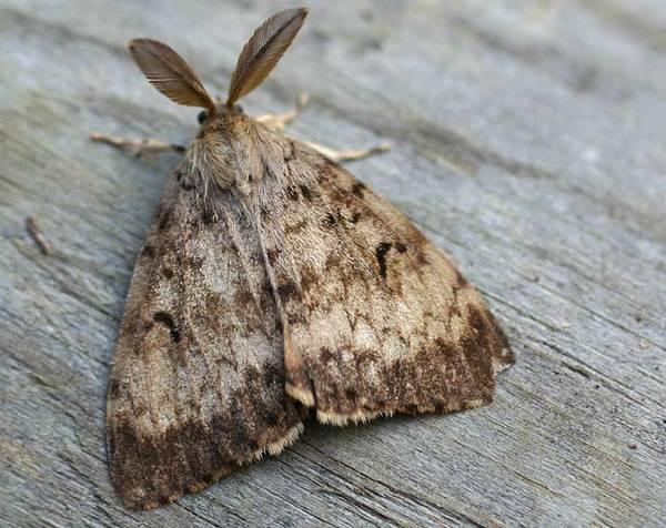 Brudnica nieparka - Lymantria dispar L.
