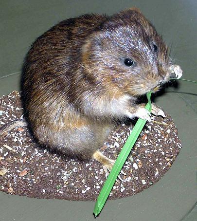 Karczownik ziemnowodny, Polnik ziemnowodny, Szczur wodny, Arvicola terrestris