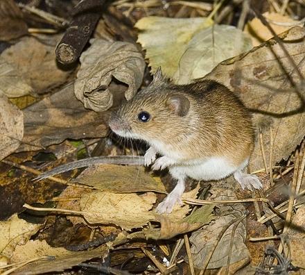 Mysz polna- Apodemus agrarius