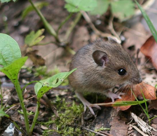 Mysz zaroślowa- Apodemus sylvaticus
