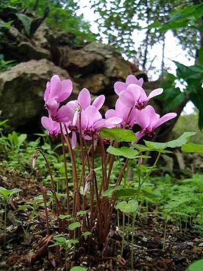 Cyklamen neapolitański ( bluszczolistny) - Cyclamen hederifolium