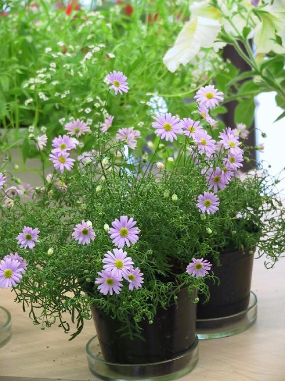 Czubatka ubiorkolistna - Brachycome iberidifolia