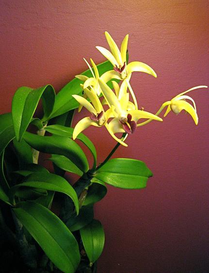 Dendrobium – Dendrobium (storczyk)