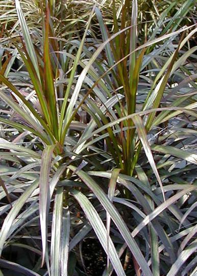 Dracena obrzeżona - Dracaena marginata