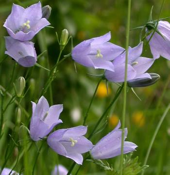 Dzwonek okrągłolistny - Campanula rotundiflora