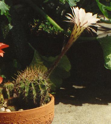 Echinopsis (Echinopsis)