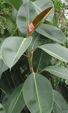 Figowiec sprężysty, Fikus - Ficus elastica