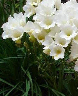 Frezja ogrodowa, Frezje – Freesia hybrida