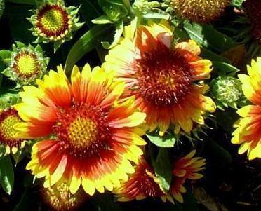 Gajlardia wielkokwiatowa – Gaillardia x grandiflora