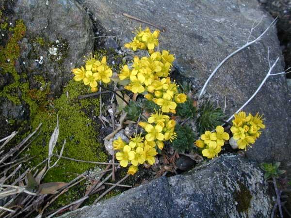 Głodek kaukaski - Draba brunifolia